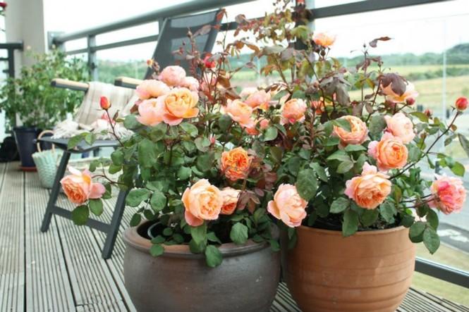 выращивание комнатных роз в горшках