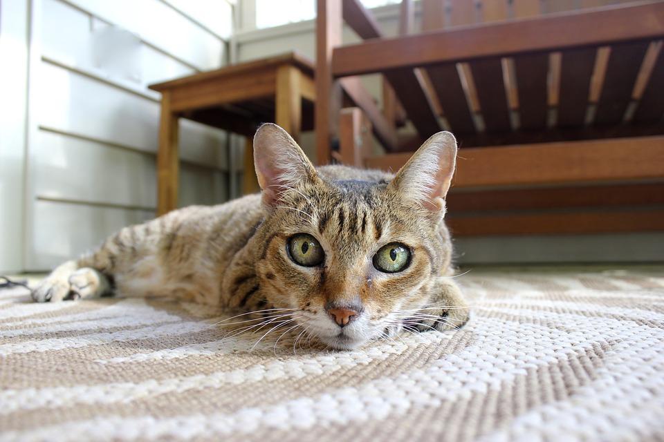 перевоспитание взрослой кошки